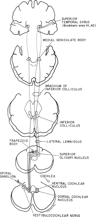 the vestibulocochlear nerve  with an emphasis on the