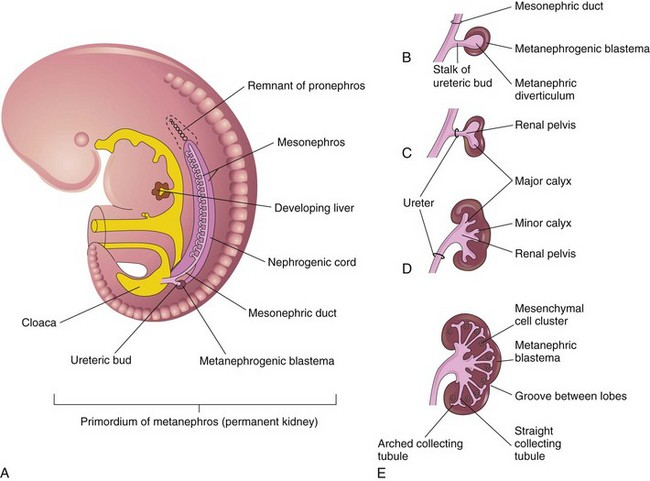 Embryology, Anatomy, and Variants of the Genitourinary Tract ...