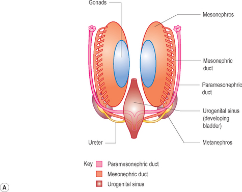 The female reproductive system radiology key a line diagram showing the development of the female genital tract from the paramesonephric duct or mllerian duct system the fallopian tubes and uterine ccuart Image collections