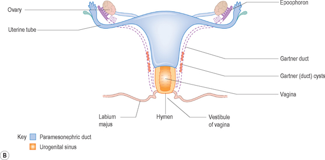 The female reproductive system radiology key a line diagram showing the development of the female genital tract from the paramesonephric duct or mllerian duct system the fallopian tubes and uterine ccuart Choice Image