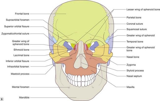 sphenoid bone lesser wing – citybeauty, Human body