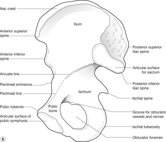 Bony pelvis anatomy