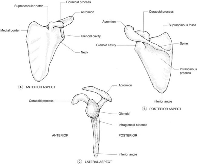Scapula posterior and anterior view