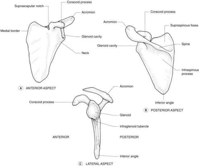 The upper limb | Radiology Key