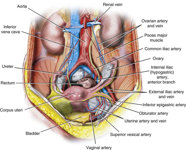 Vascular Anatomy Of The Pelvis Radiology Key