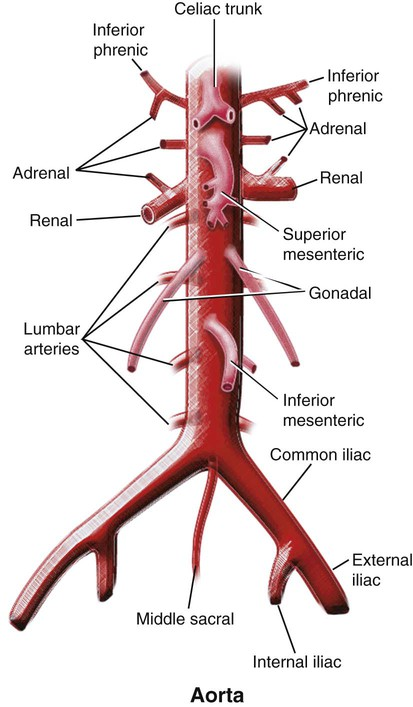 Vascular Anatomy of the Pelvis | Radiology Key
