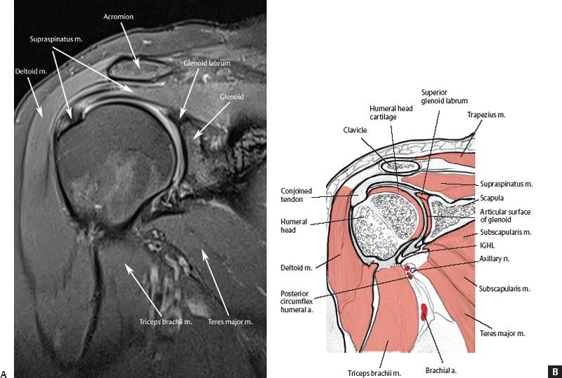 Shoulder tendons anatomy