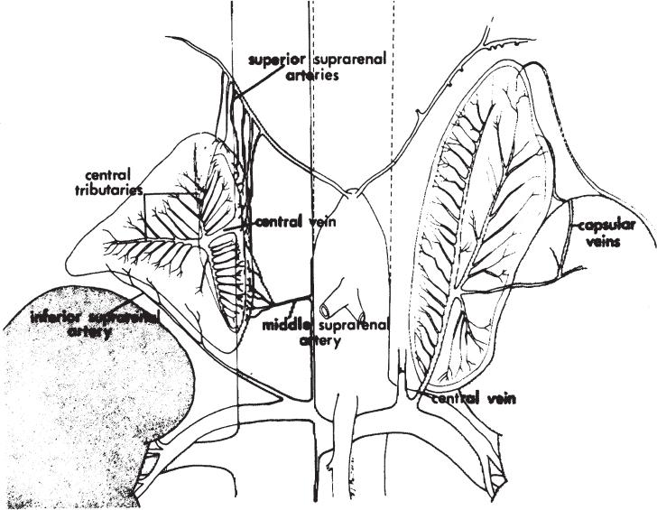 Adrenal Vein Sampling | Radiology Key