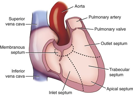 Diagram Of Apical Septum Heart - Electrical Work Wiring Diagram •