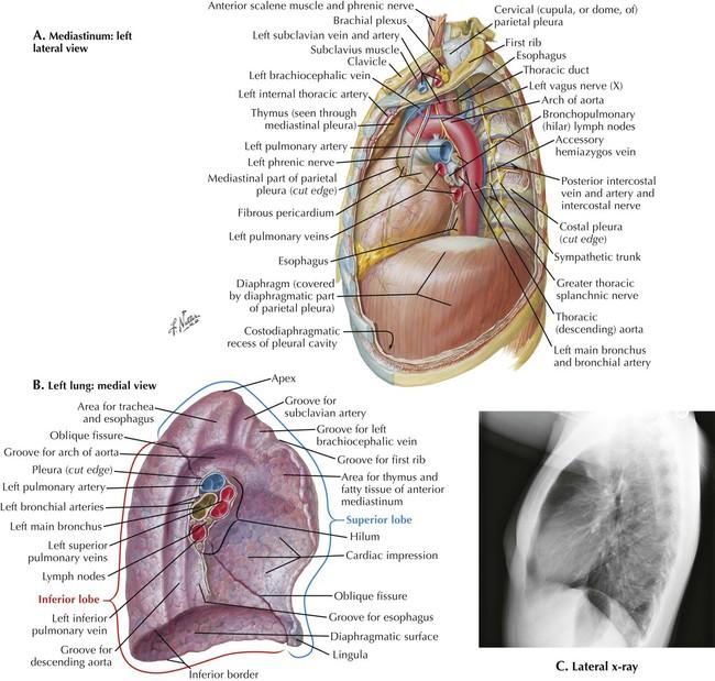 anterior mediastinum anatomy - photo #21