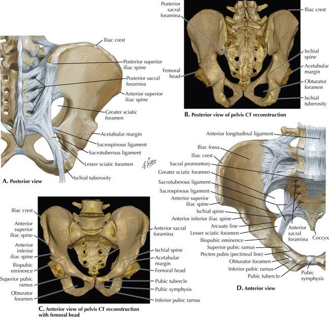 Anatomy of the pelvis and perineum