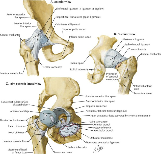 Right hip anatomy