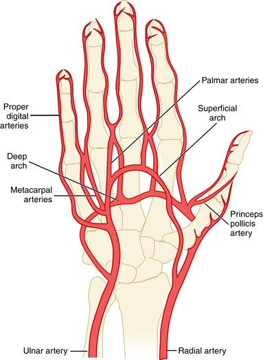 Arteria princeps pollicis || Med-koM