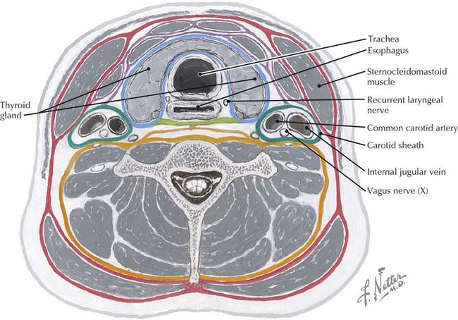 Neck anatomy cross section