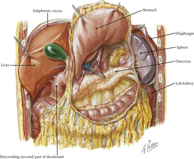 Upper abdominal anatomy