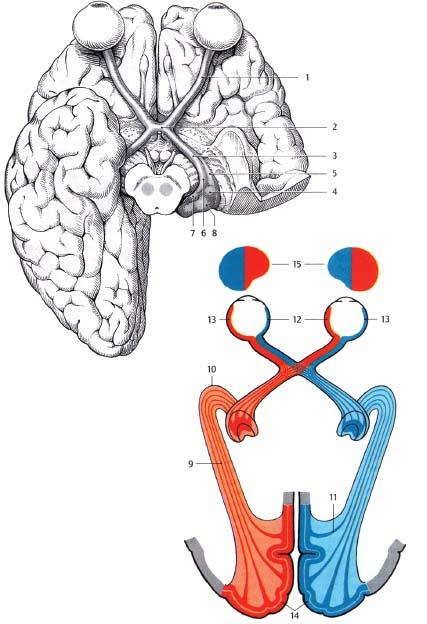 Optic Nerve Radiology Key