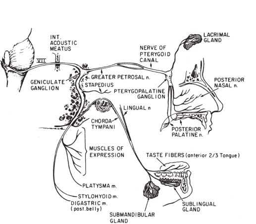Facial Nerve Radiology Key Chorda tympani the right membrana tympani with the hammer and the chorda tympani, viewed from within, from behind, and from above. facial nerve radiology key