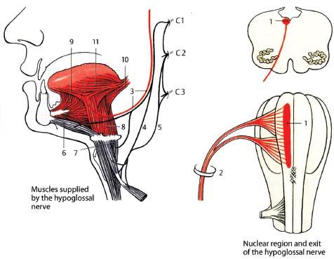 Hypoglossal Nerve | Radiology Key