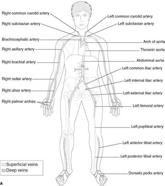 Anatomy And Physiology Radiology Key