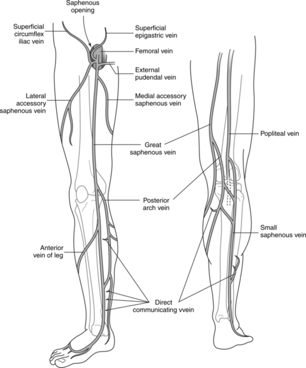 Peripheral vascular procedures radiology key figure 15 7 schematic drawing of the superficial veins of the lower extremity for ease of visualization only the major vessels are included publicscrutiny Image collections