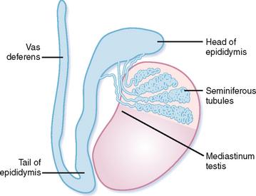 Testicular anatomy epididymis