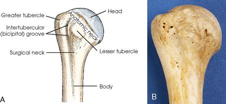 SHOULDER GIRDLE | Radiology Key Proximal Humerus Anatomy