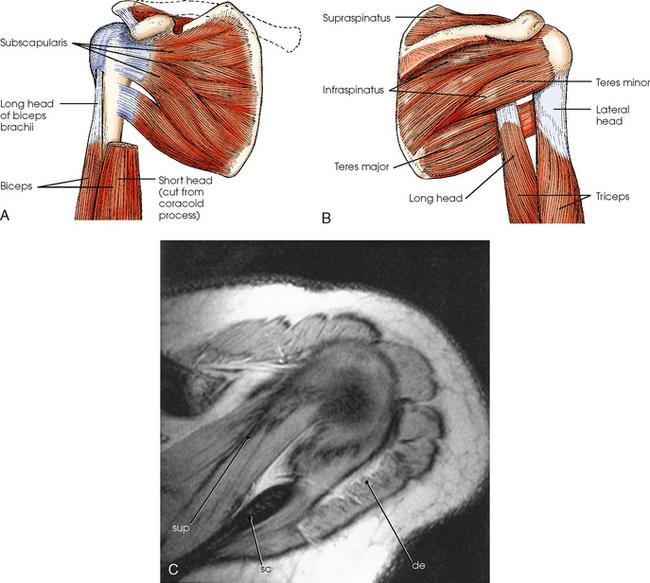 SHOULDER GIRDLE   Radiology Key