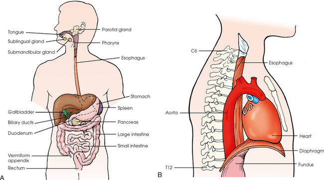 Digestive System Alimentary Canal on anatomical position
