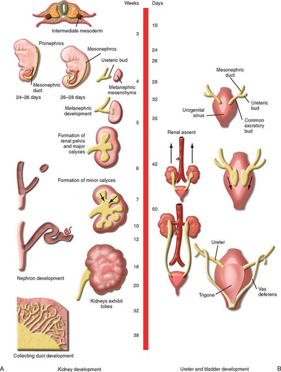 The Fetal Genitourinary Tract Radiology Key