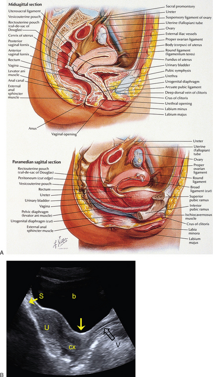 Normal Anatomy Of The Female Pelvis And Transvaginal Sonography