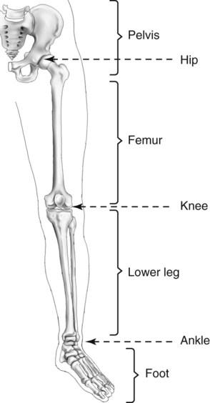 lower limb and pelvis