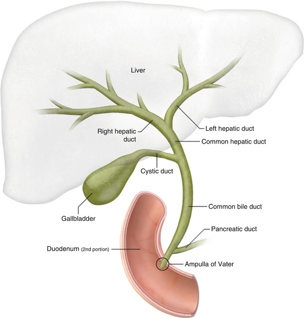 Anatomy of bile ducts