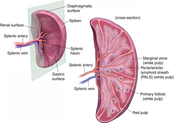 Cross Sectional Imaging Of The Spleen Radiology Key
