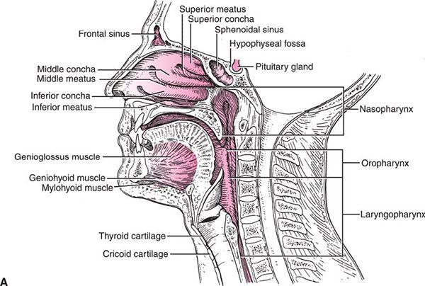 Oropharynx | Radiology Key