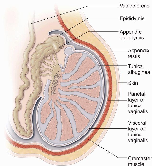 testicular | radiology key, Cephalic Vein